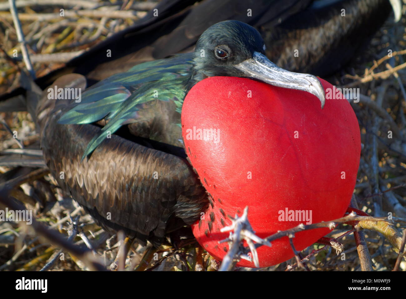 Male Magnificent Frigatebird (Fregata magnificiens) with inflated red chest pouch in the Galapagos - Stock Image