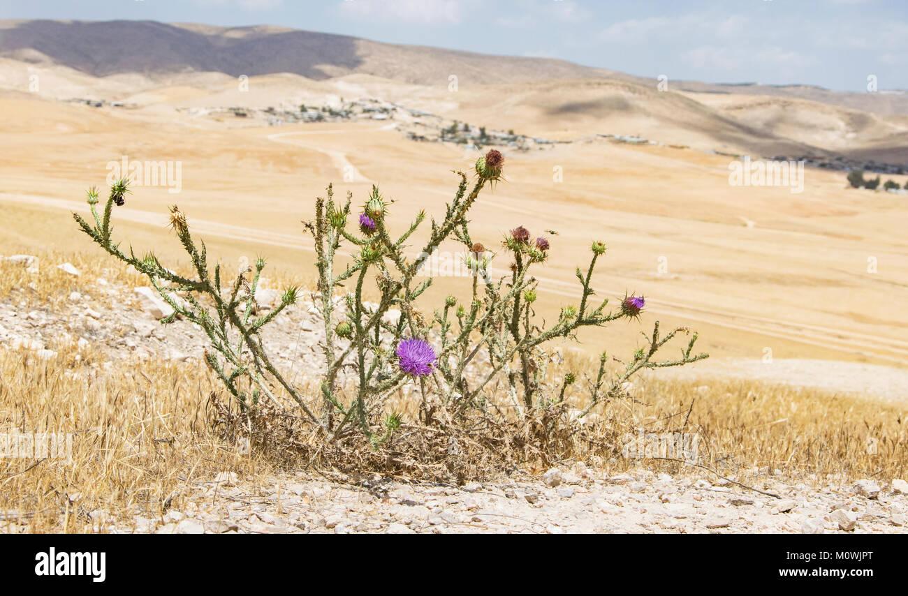 Palestinian thistle overlooking bedouin village in Israel - Stock Image