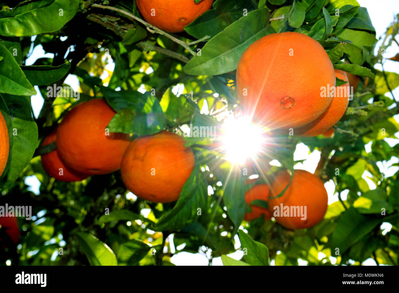 the sun shines between the branches of an orange tree - Stock Image