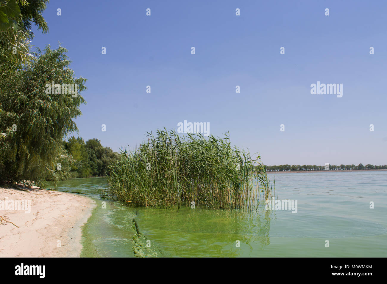 Water pollution. ecology. blooming pond.  algal blooms, green  beach on the lake - Stock Image
