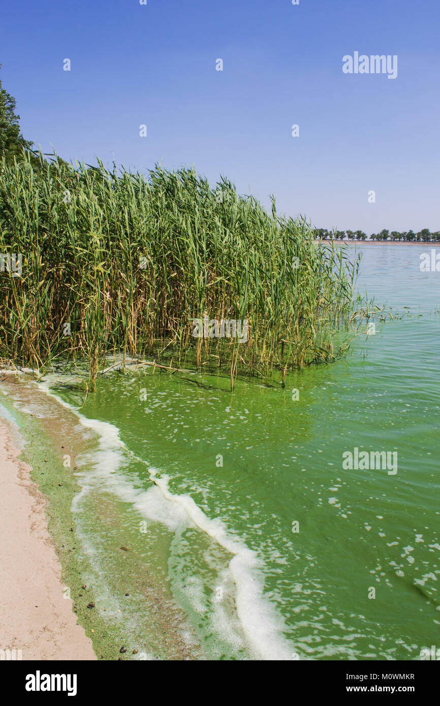 Water pollution. Ecology. Blooming pond. Algal blooms, green water on the lake - Stock Image