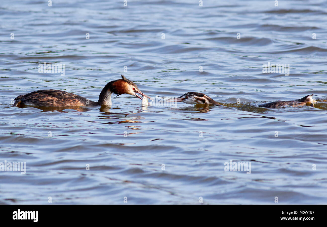 Great Crested Grebe with fish, feeding young, Norfolk Broads, Norfolk ,UK - Stock Image