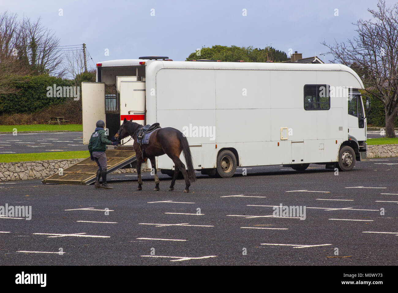 Horse being prepared to enter a transporter after a long trek in Tollymore Forest Park County Down in  in Northern Ireland Stock Photo