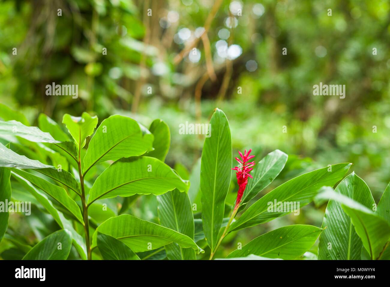 St. Kitts and Nevis,St. Kitts,Molineux,heliconia - Stock Image