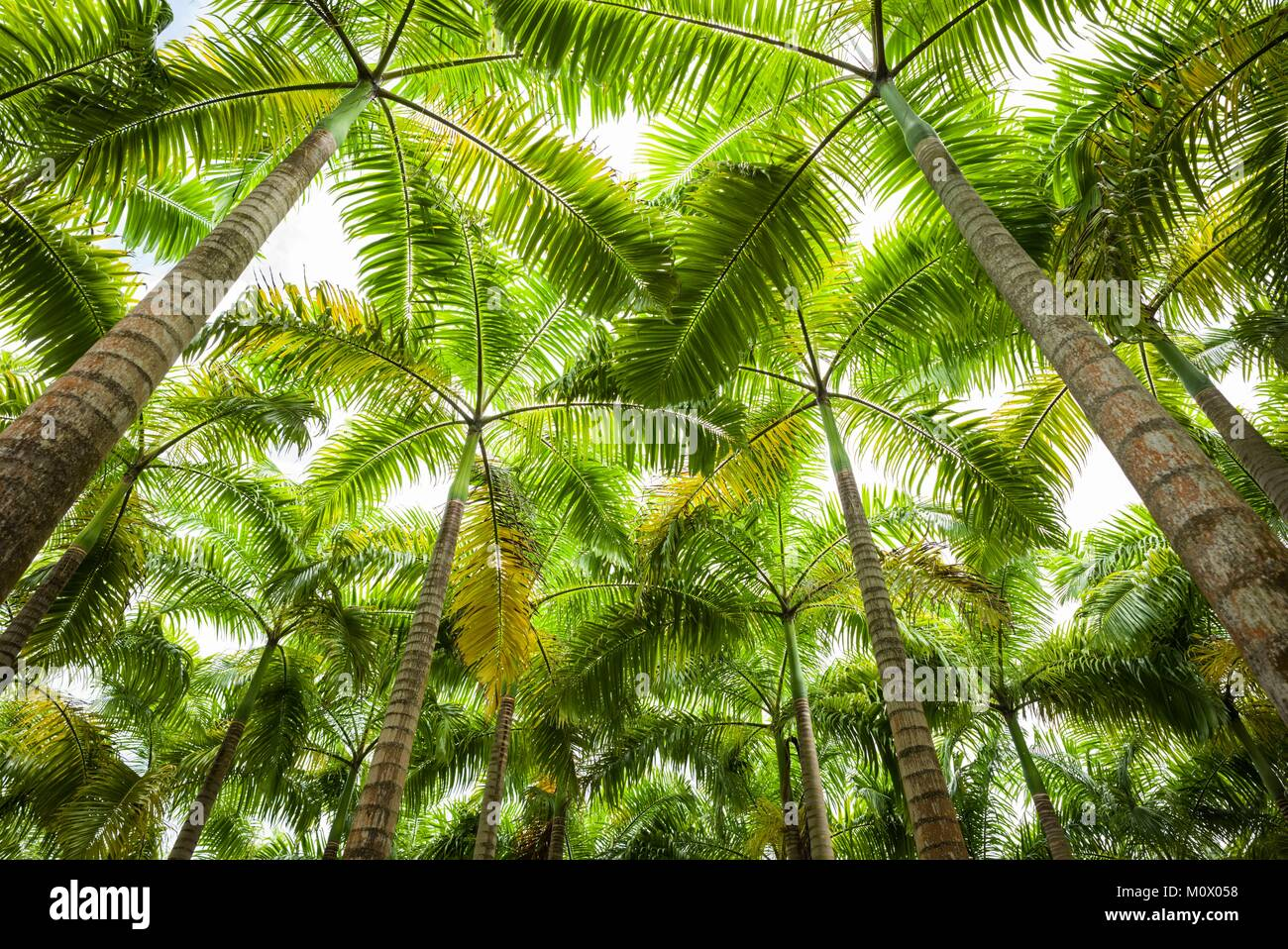 St. Kitts and Nevis,St. Kitts,Molineux,palm tree - Stock Image