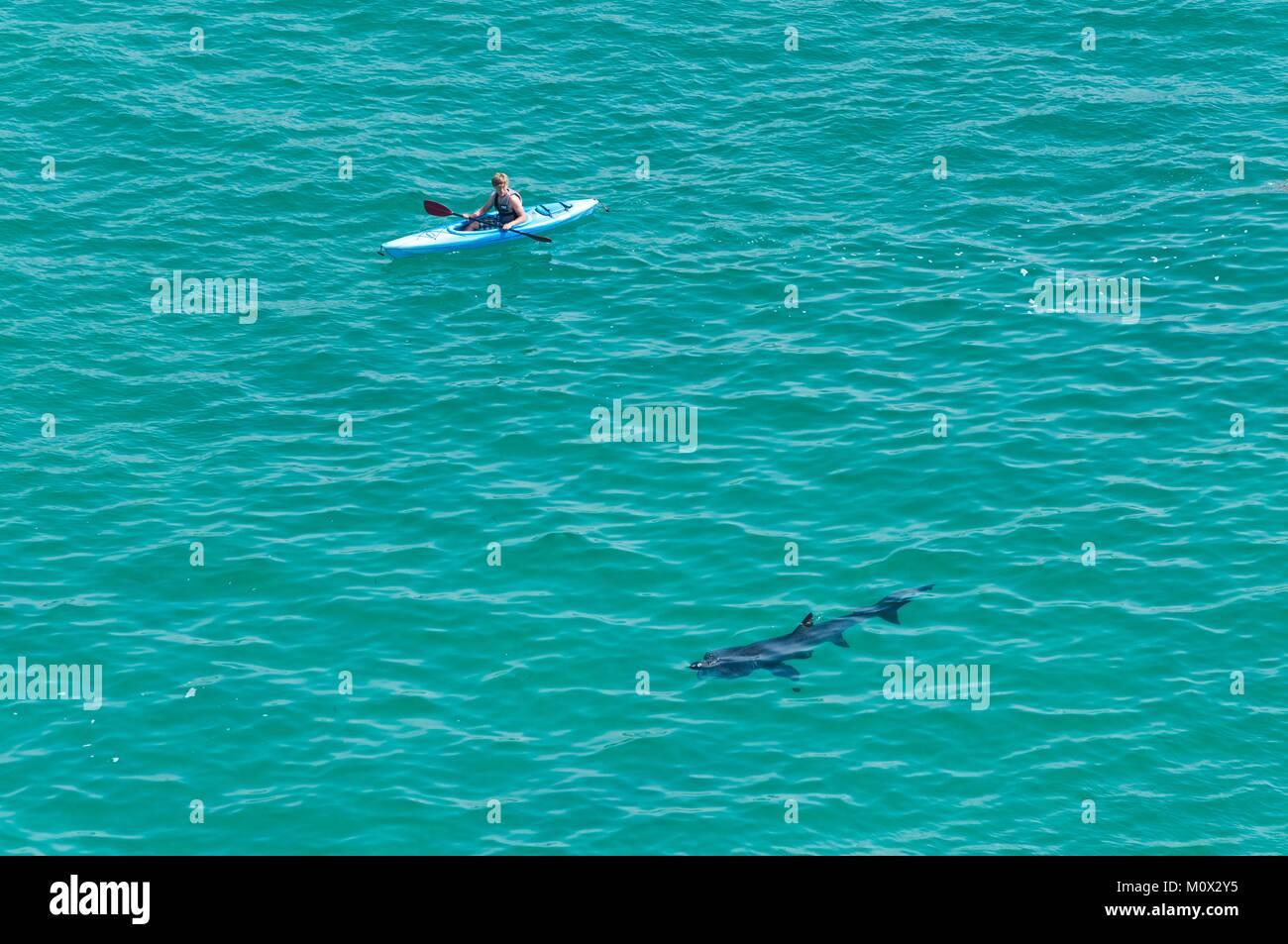 United Kingdom, Cornwall, Porthcurno Beach, kayak and basking shark (Cetorhinus maximus) - Stock Image