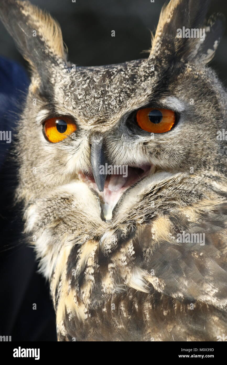 wide eyed owl - Stock Image