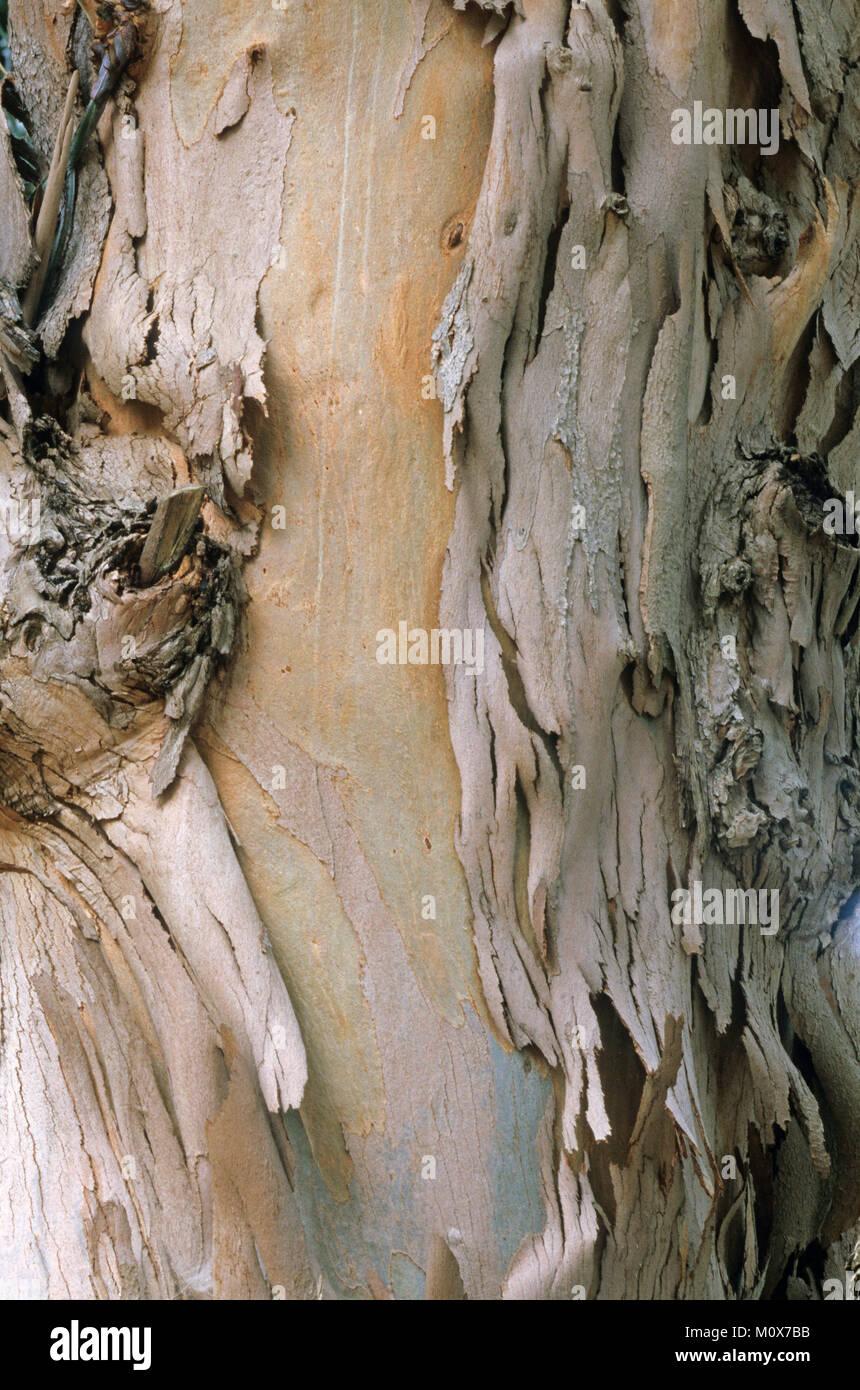 Tasmanian Blue Gum tree, bark, Provence, France / (Eucalyptus globulus) | Gewoehnlicher Fieberbaum, Rinde / (Eucalyptus - Stock Image