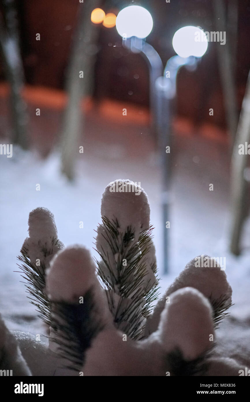 A pine branch covered with snow in a winter park - Stock Image