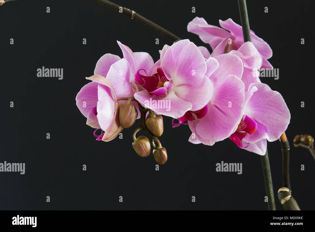 Rare bright pink wild orchid stock photos rare bright pink wild branch with pink flowers and buds of an orchid on a black background stock image mightylinksfo