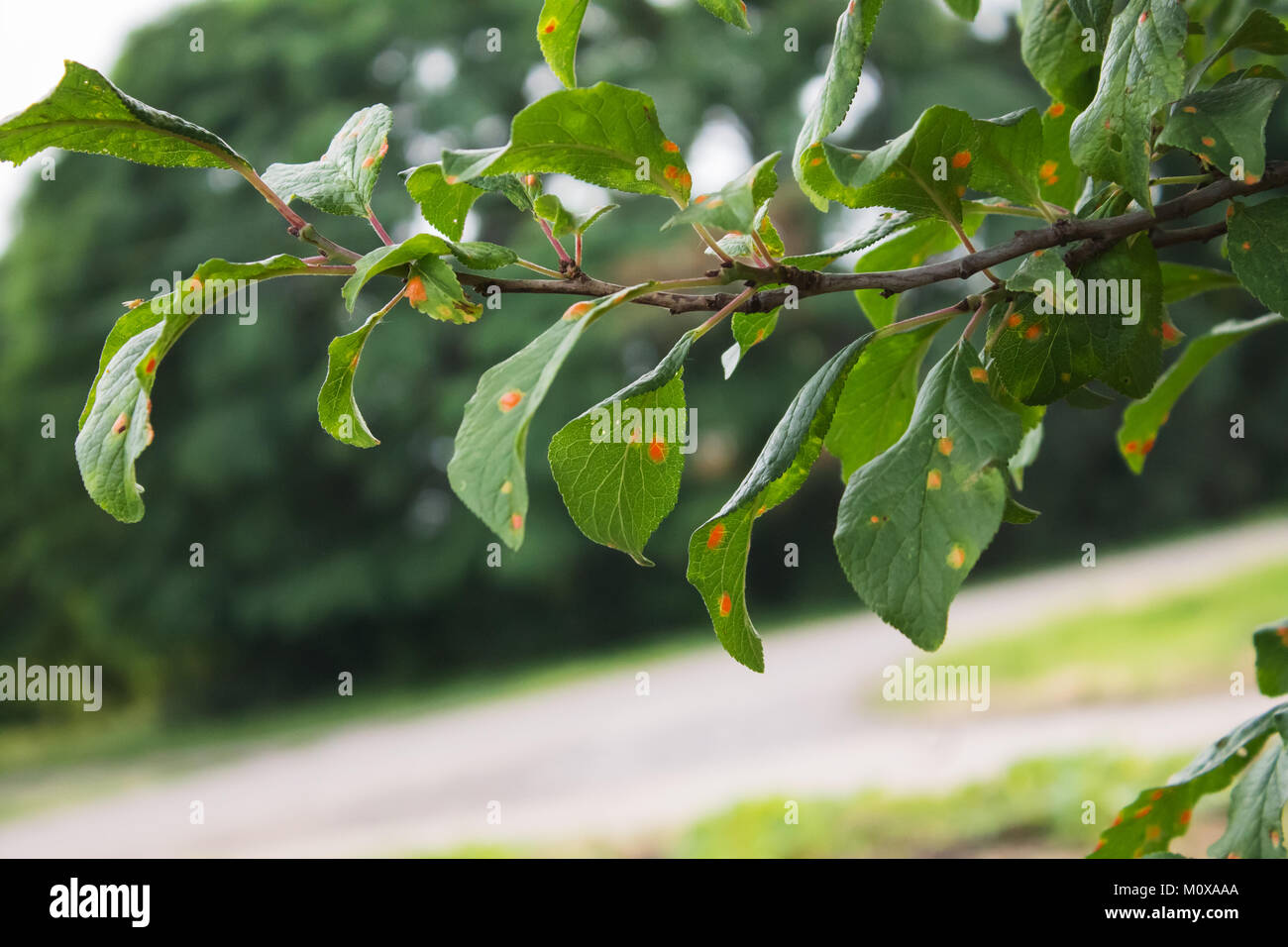 natural photo plum tree branche with leaves affected by the disease - Stock Image