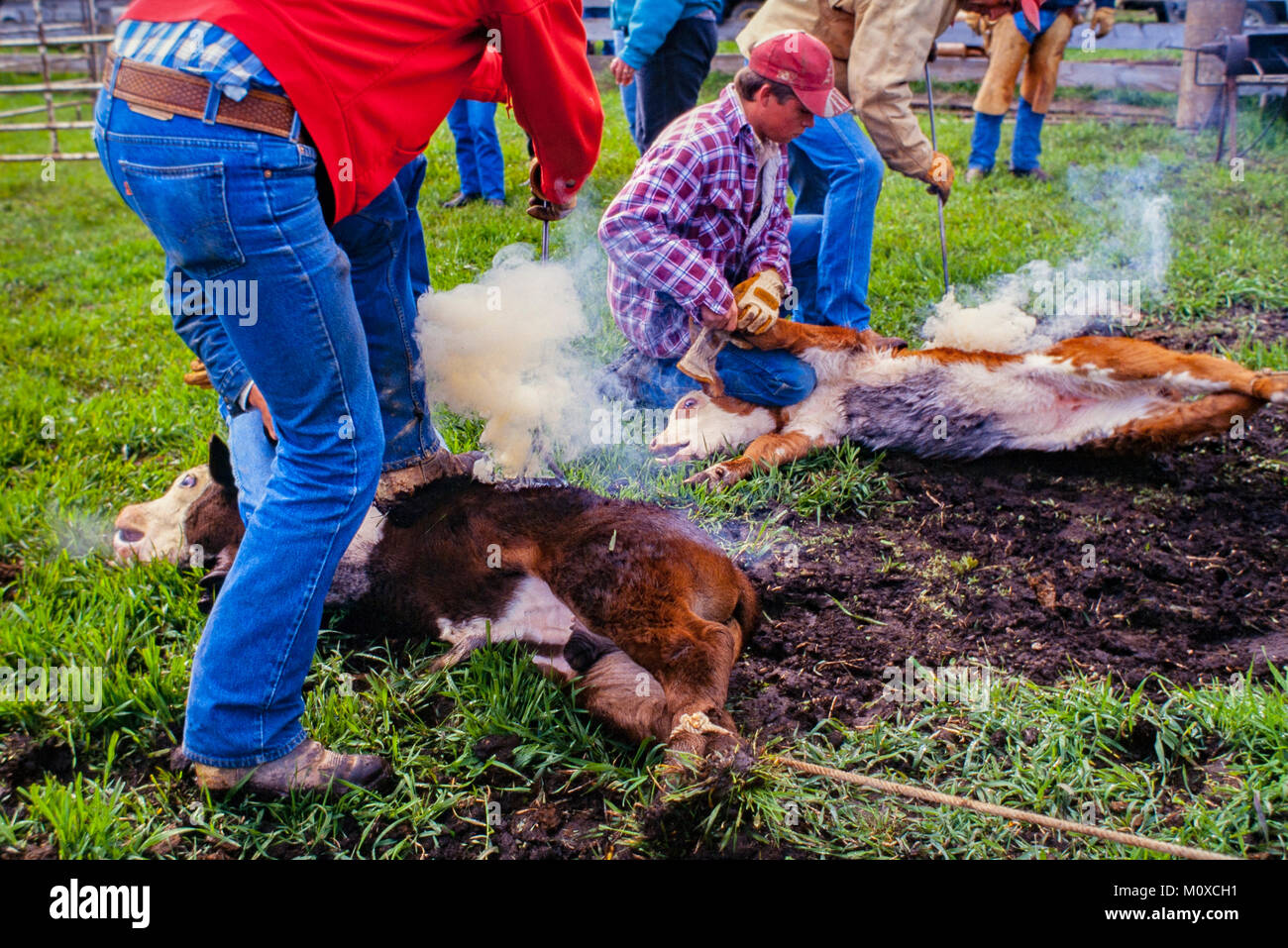 Ranch neighbors geld and brand calves at a cattle roundup and branding in South Dakota. - Stock Image