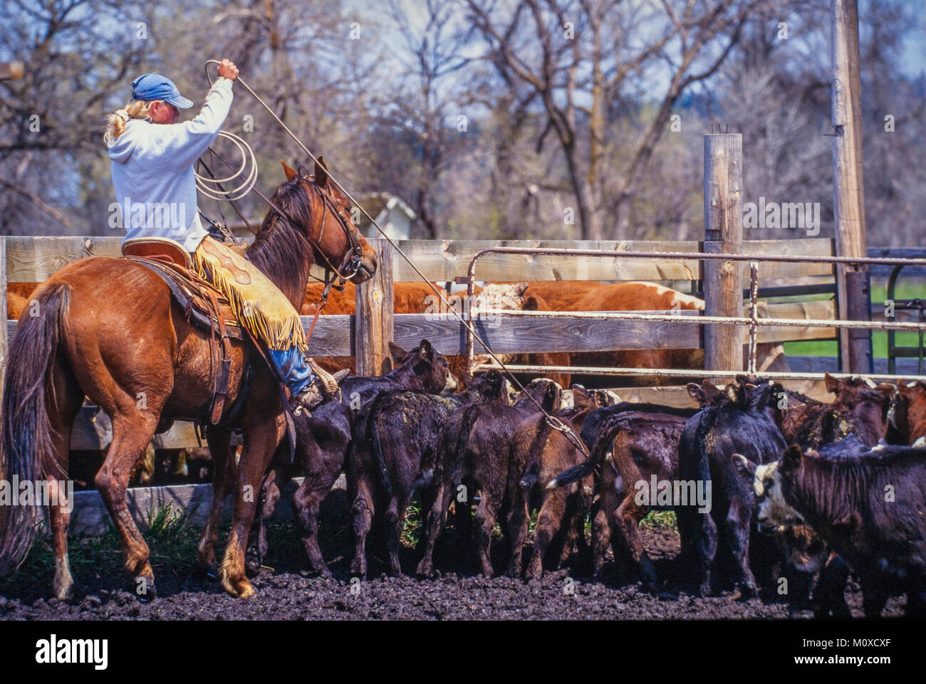 Ranch neighbors help with a cattle roundup and branding in