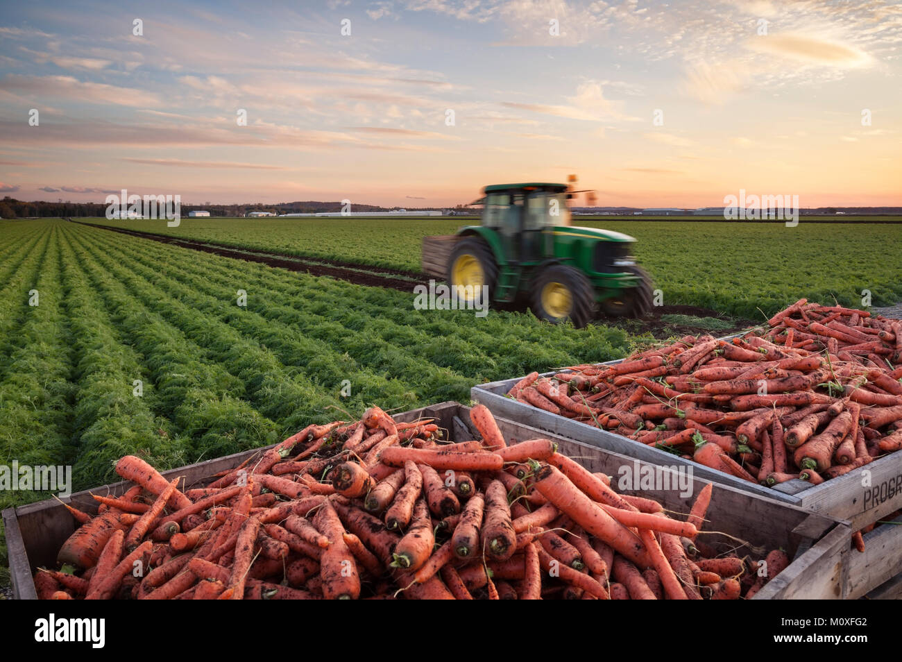 A tractor collecting carrots with crates of carrots and a mature field of carrots in the background. Holland marsh - Stock Image