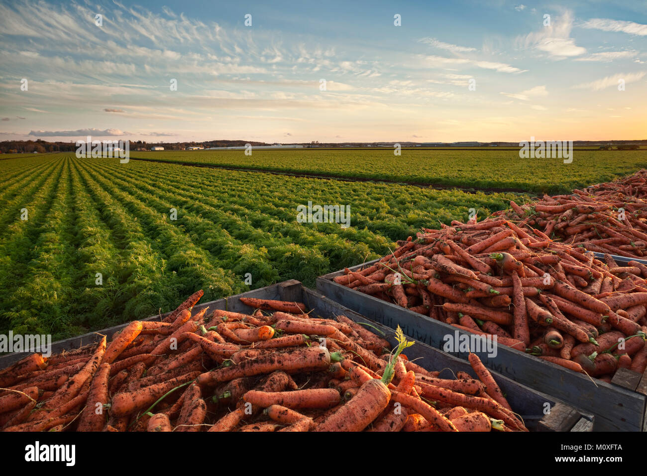 Crates of carrots with a mature field of carrots in the background.  Holland marsh in Bradford West Gwillimbury, - Stock Image