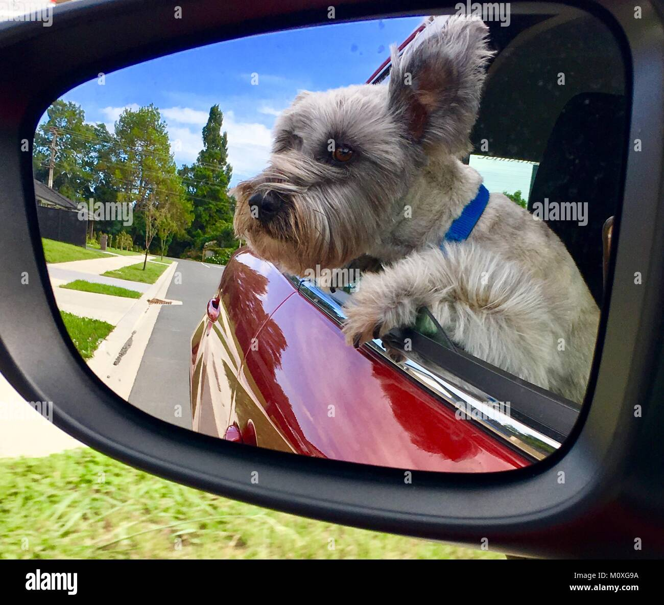 small puppy dog with head out of car window reflected in wing mirror - Stock Image
