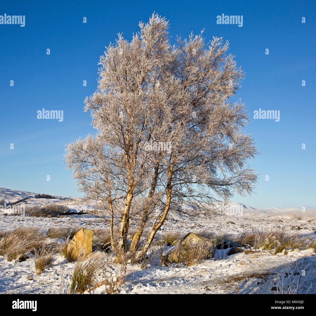 Rannoch Moor, Scotland, frozen birch tree in winter - Stock Image
