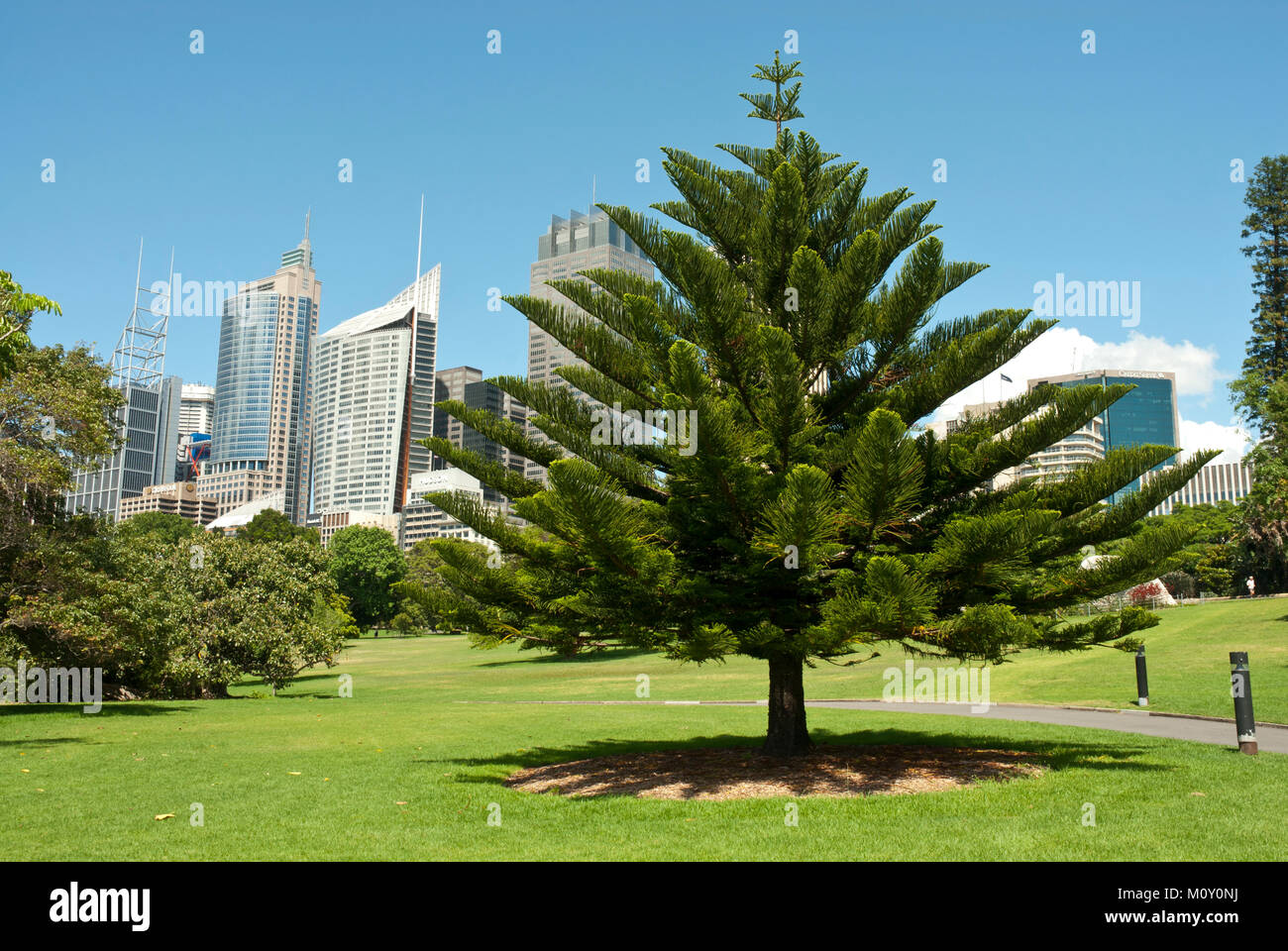 Royal Botanic Garden Sydney on a sunny day with high rise CBD in background. Blue sky. Specimen tree. - Stock Image