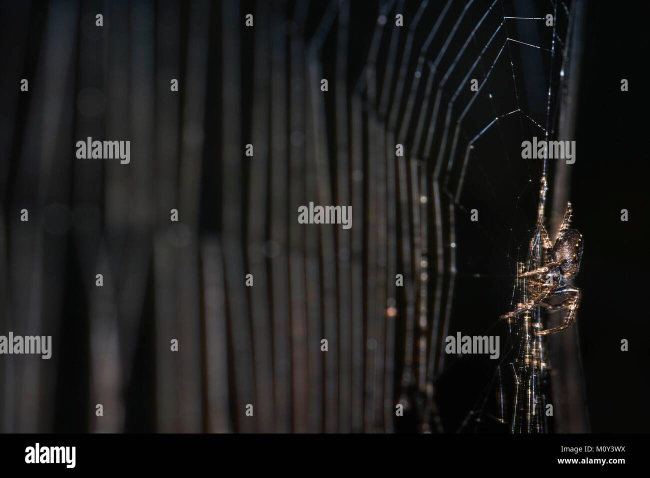 France, Morbihan, Vannes, Araneae, Araneidae, Walnut orb weaver (Nuctenea umbratica) on its web - Stock Image