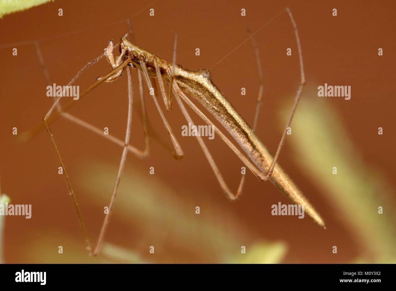 France, Pyrenees Atlantiques, Theridiidae, Cobweb Spider (Rhomphaea rostrata) - Stock Image