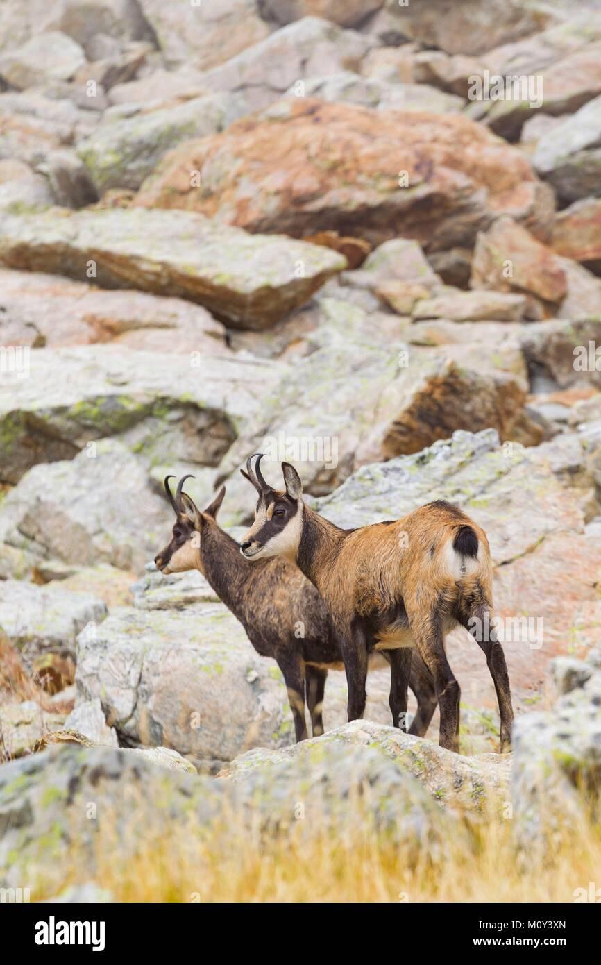 France, Alpes-Maritimes, Mercantour National Park, Gordolasque Valley, chamois (Rupicapra rupicapra) Stock Photo