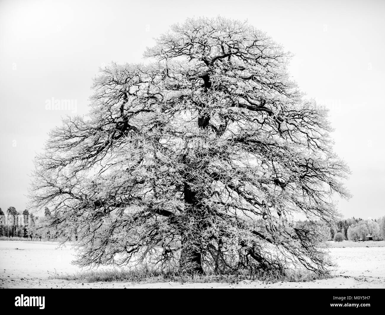 The Frosty Grand Old Oak a january day in Uppland, Sweden in B/W - Stock Image