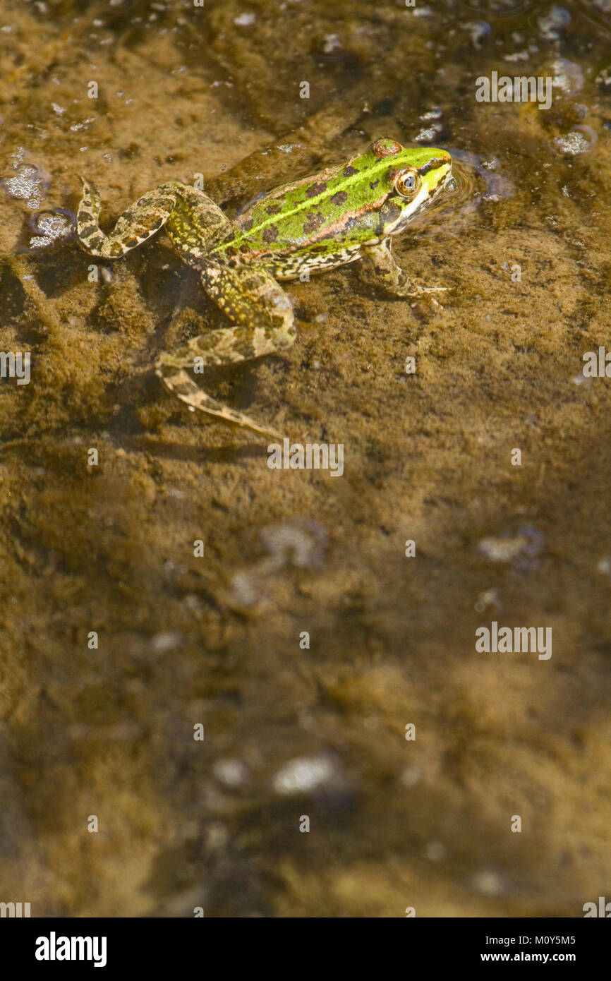 Perez's frog swimming in a pond - Stock Image