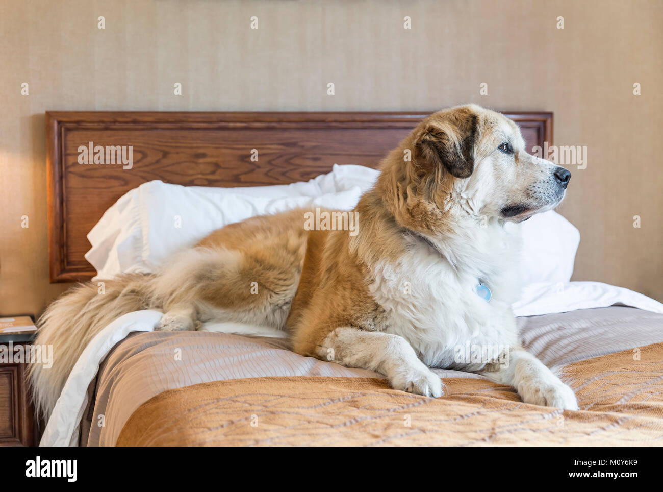 Large dog on a hotel room bed, Saskatchewan, Canada. - Stock Image