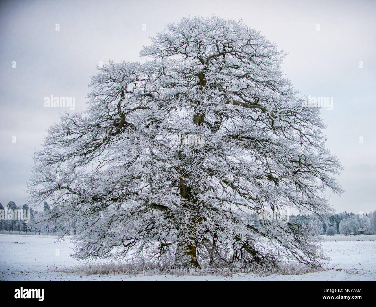 The Frosty Grand Old Oak a january day in Uppland, Sweden - Stock Image