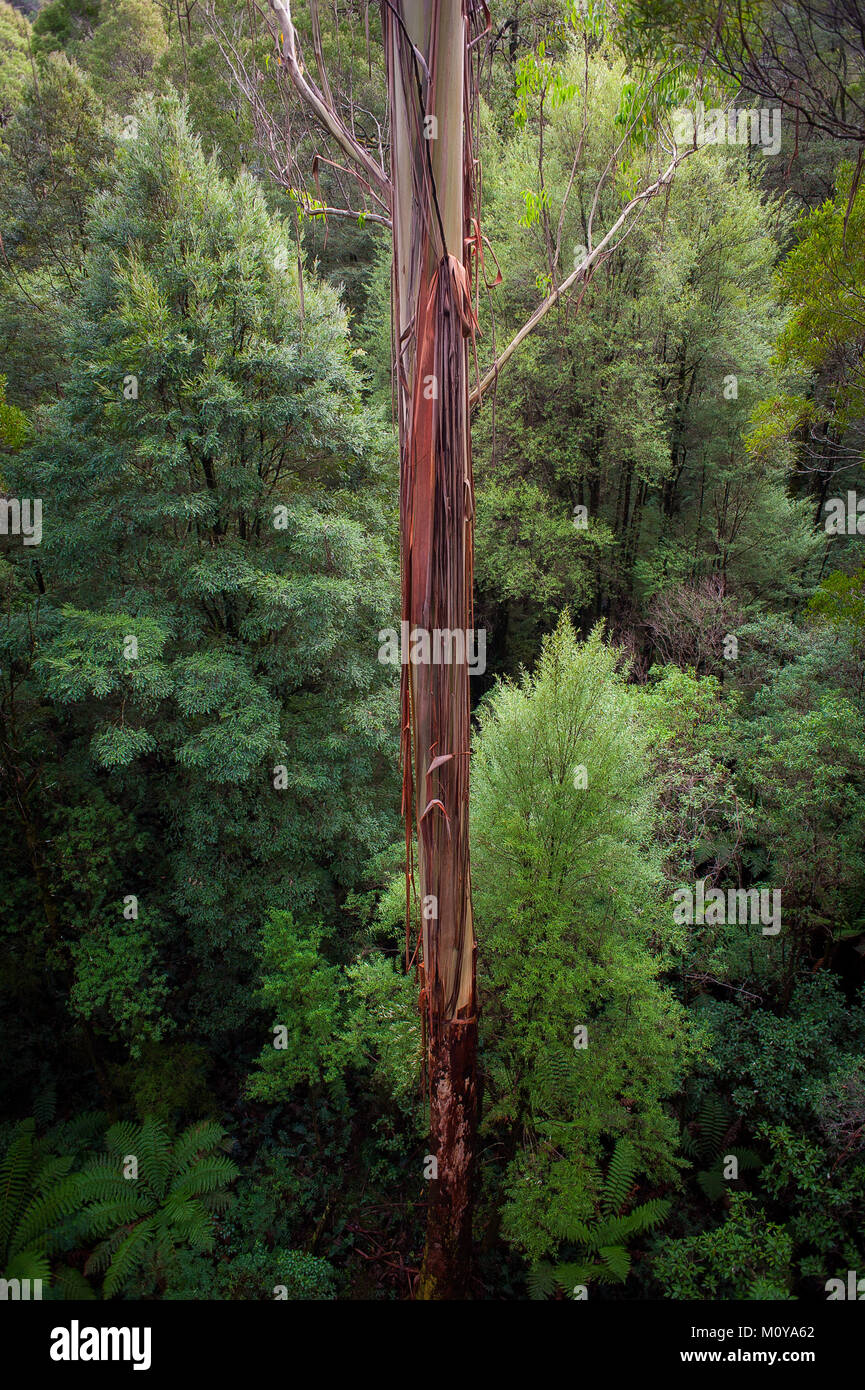 Tall tree viewed from The Otway Fly Tree Top Walk. The Great Ocean Rd Victoria, Australia Stock Photo