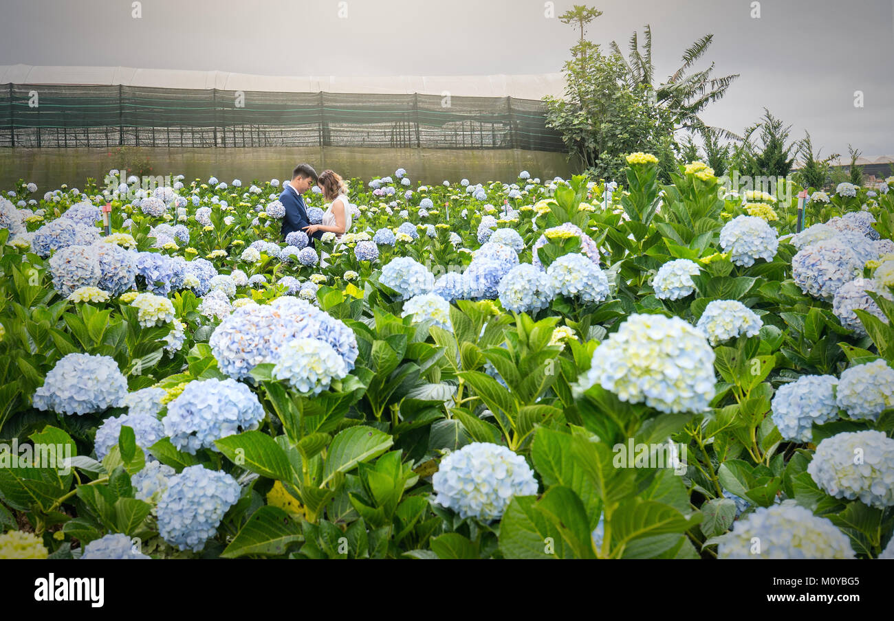 Field blooming hydrangeas on hill beautiful winter morning. It attracts tourists to visit, photographic, sights - Stock Image