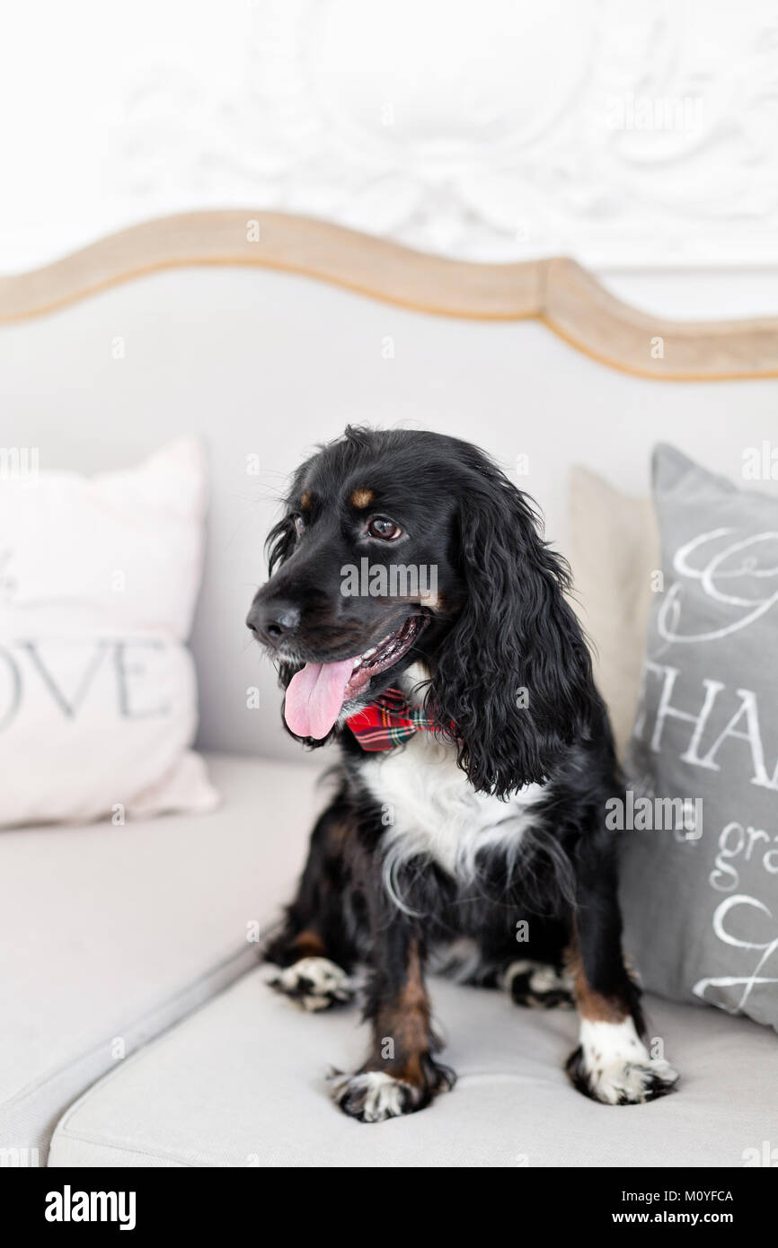 Dog spaniel in a red bow tie in the interior of the light room. Pet is three years old sitting on a chair. Red checkered - Stock Image