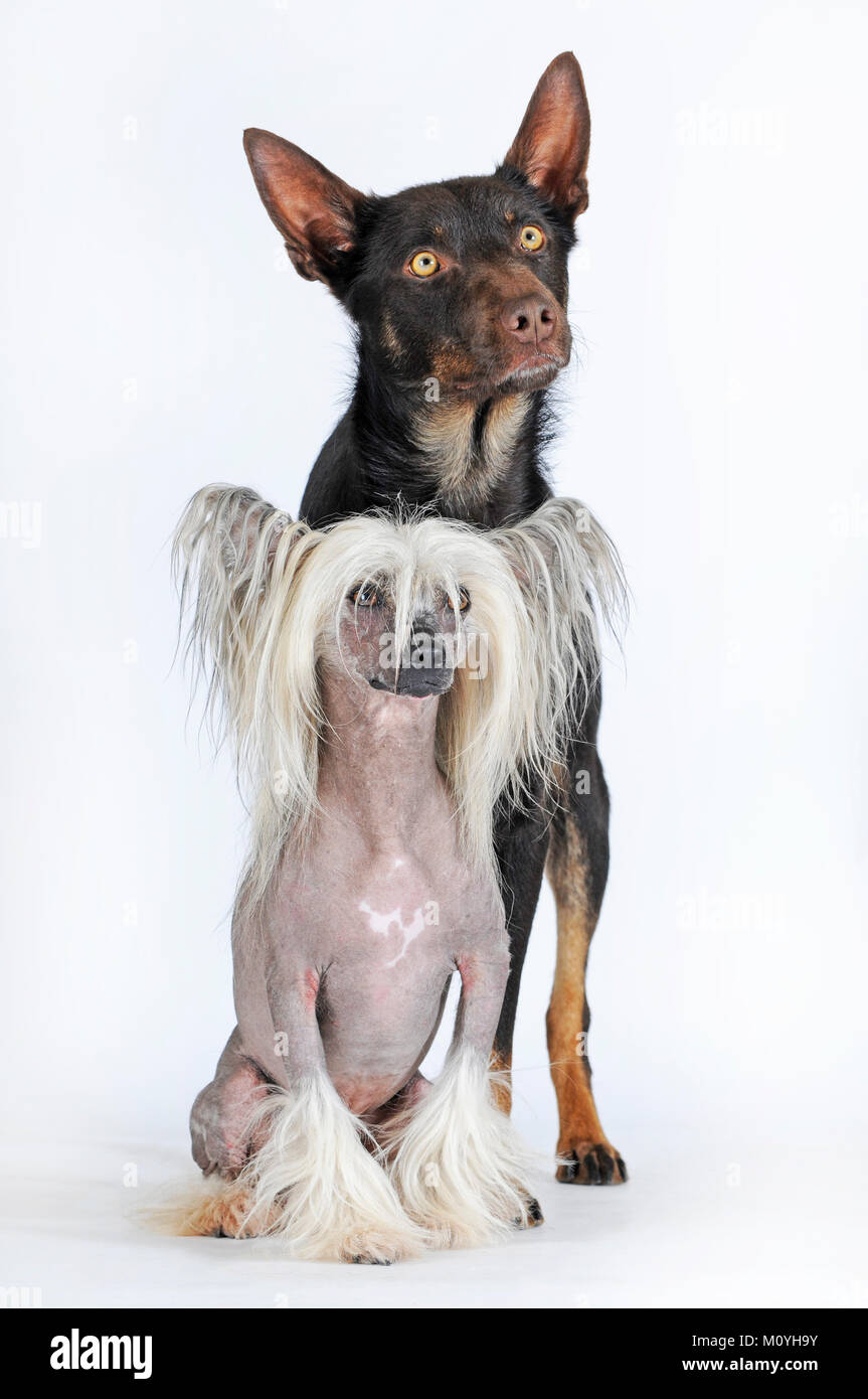 Chinese Crested Hairless Dog,male and Australian Kelpie,choko-tan,male,close together - Stock Image
