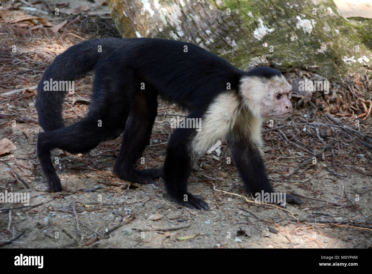 A old white-faced Capuchin monkey walking beside a hiking trail near Corcovado National Park on the Pacific Coast Stock Photo