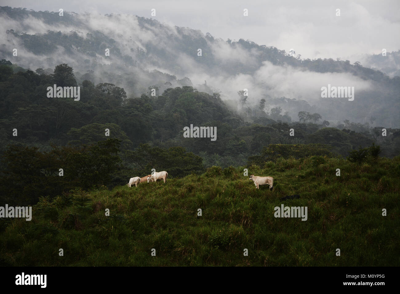 Cattle grazing beside the tropical rainforest on the edges of Corcovado National Park on the Pacific Coast in southern - Stock Image