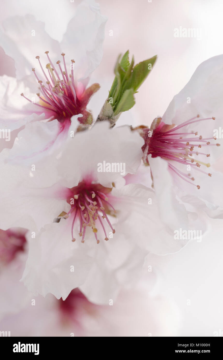 Prunus dulcis 'Rosa Nr.10' - Echte Süßmandel - Almondblossom - Stock Image