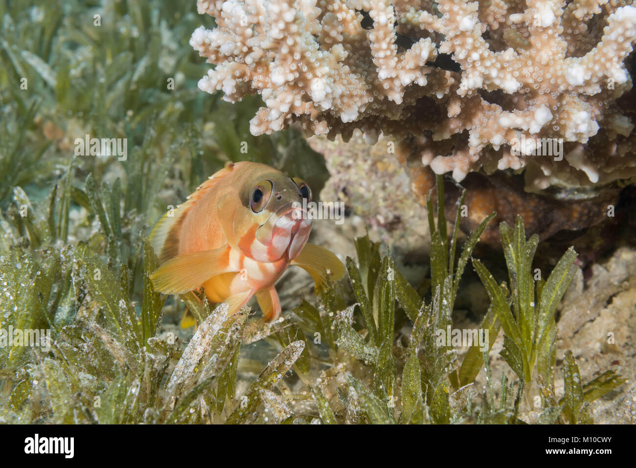 Red Sea, Dahab, Egypt. 14th Nov, 2017. Blacktip Grouper (Epinephelus fasciatus) lies on the sea grass under coral Stock Photo