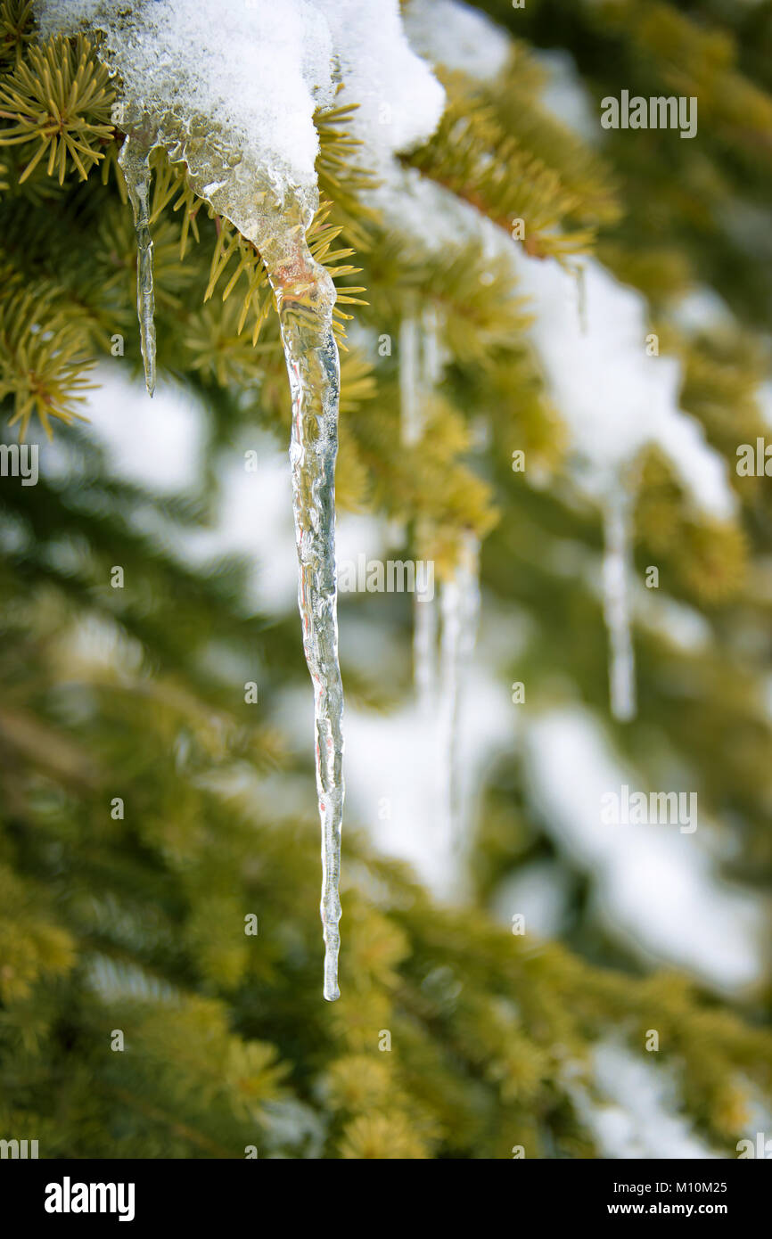 Close up of an icicle hanging on a snowy pine tree branch in winter - Stock Image