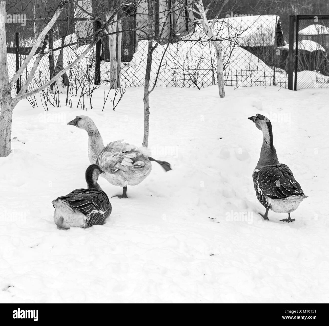Three geese in snow at winter cloudy day in black and white - Stock Image
