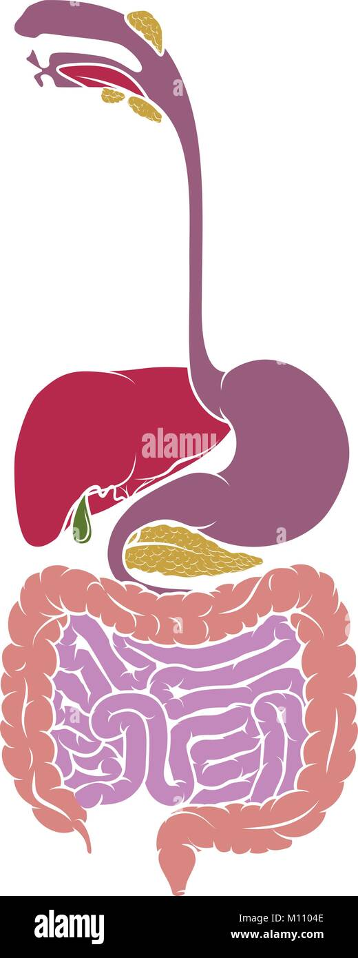 Human Anatomy Gastrointestinal Tract Diagram Stock Vector Art ...