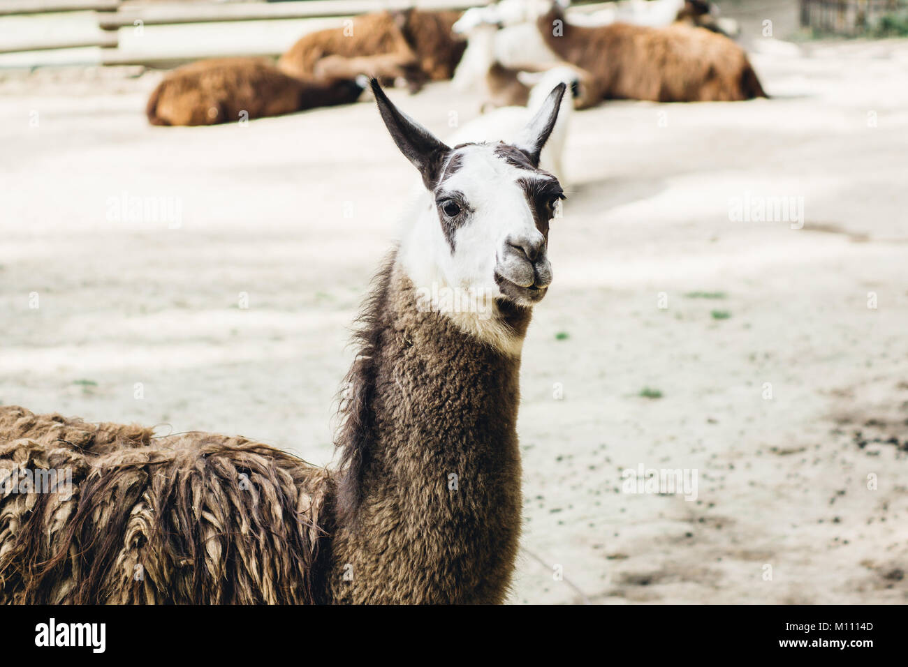 Brown and white patched llama closeup portrait - Stock Image