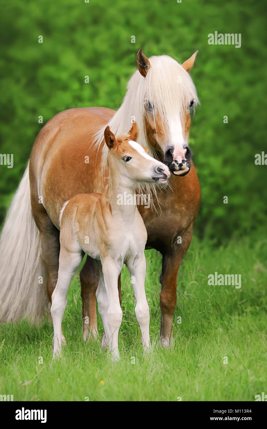 A cute little Haflinger horse foal smooches with its mother, standing side by side on a green pasture, Germany - Stock Image