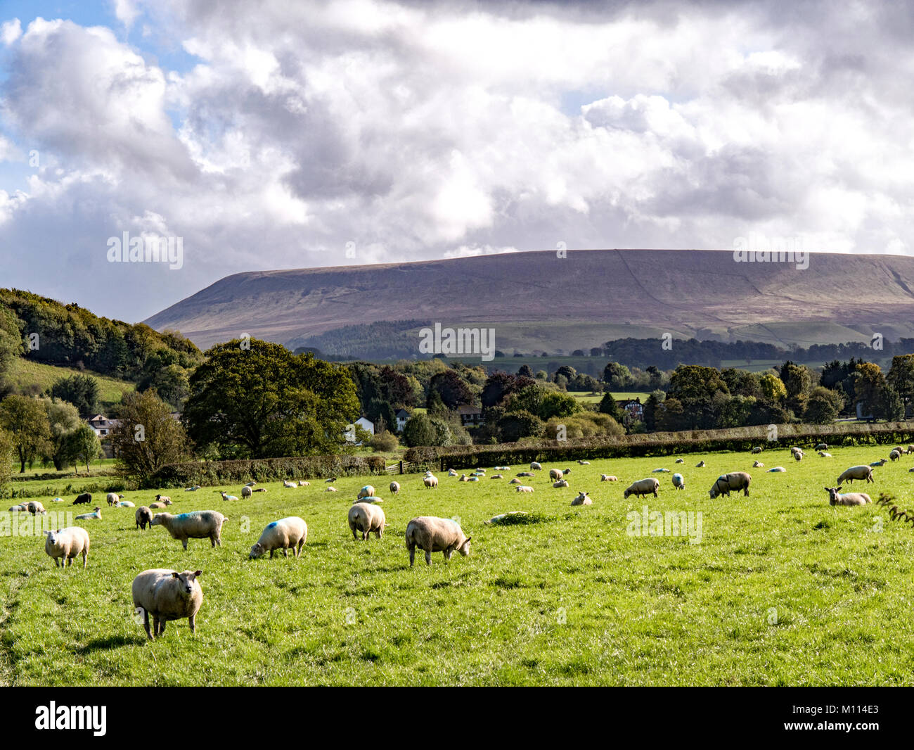 Texel sheep grazing at Sawley, Clitheroe, with Pendle Hill in the distance. - Stock Image