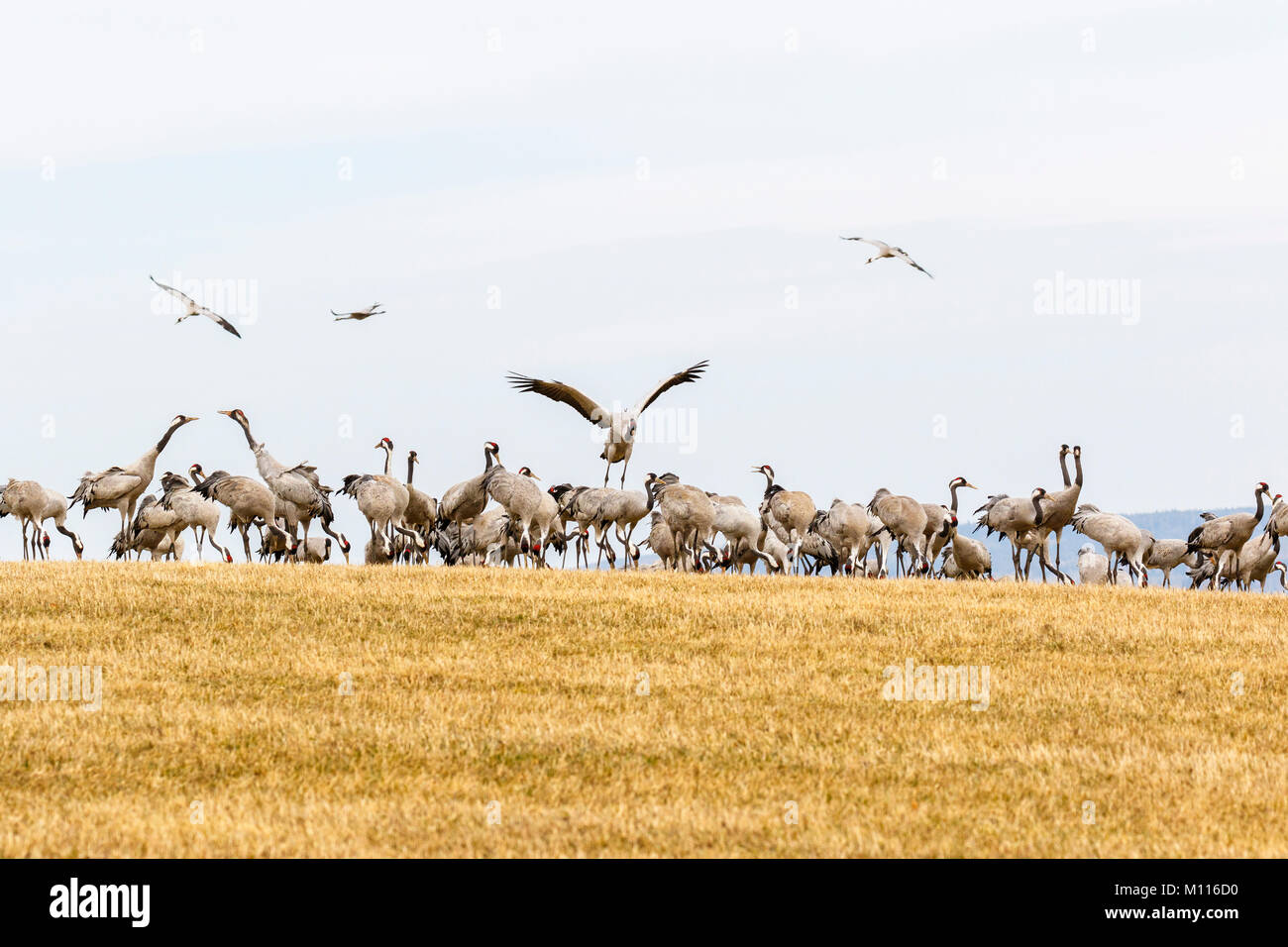 Crane landing in a flock at a field Stock Photo