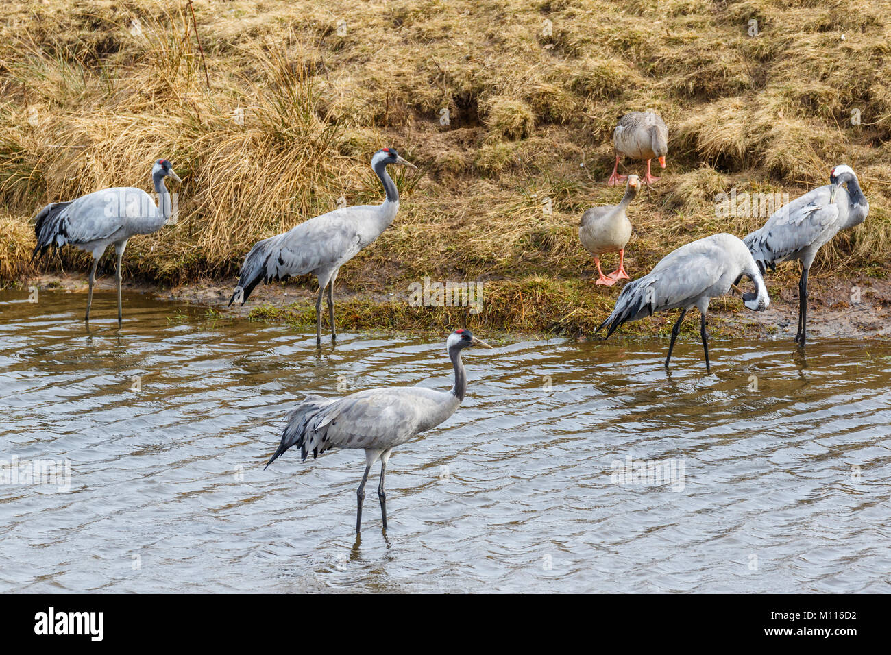Cranes standing in the water at the beach Stock Photo