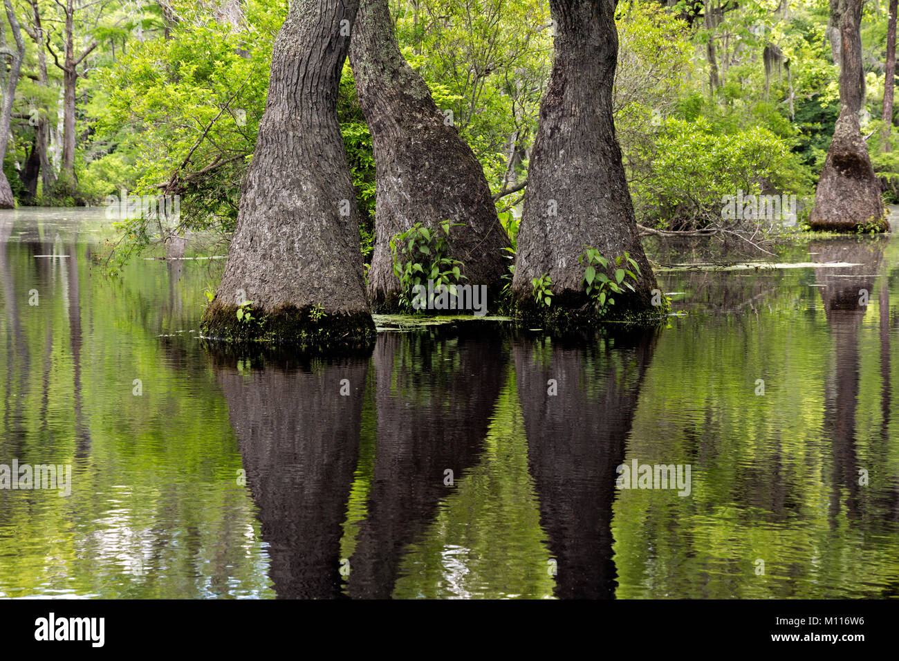NC01451--00...NORTH CAROLINA - Graceful tupelo gum trees rising out of the cypress swamp reflecting in the still - Stock Image