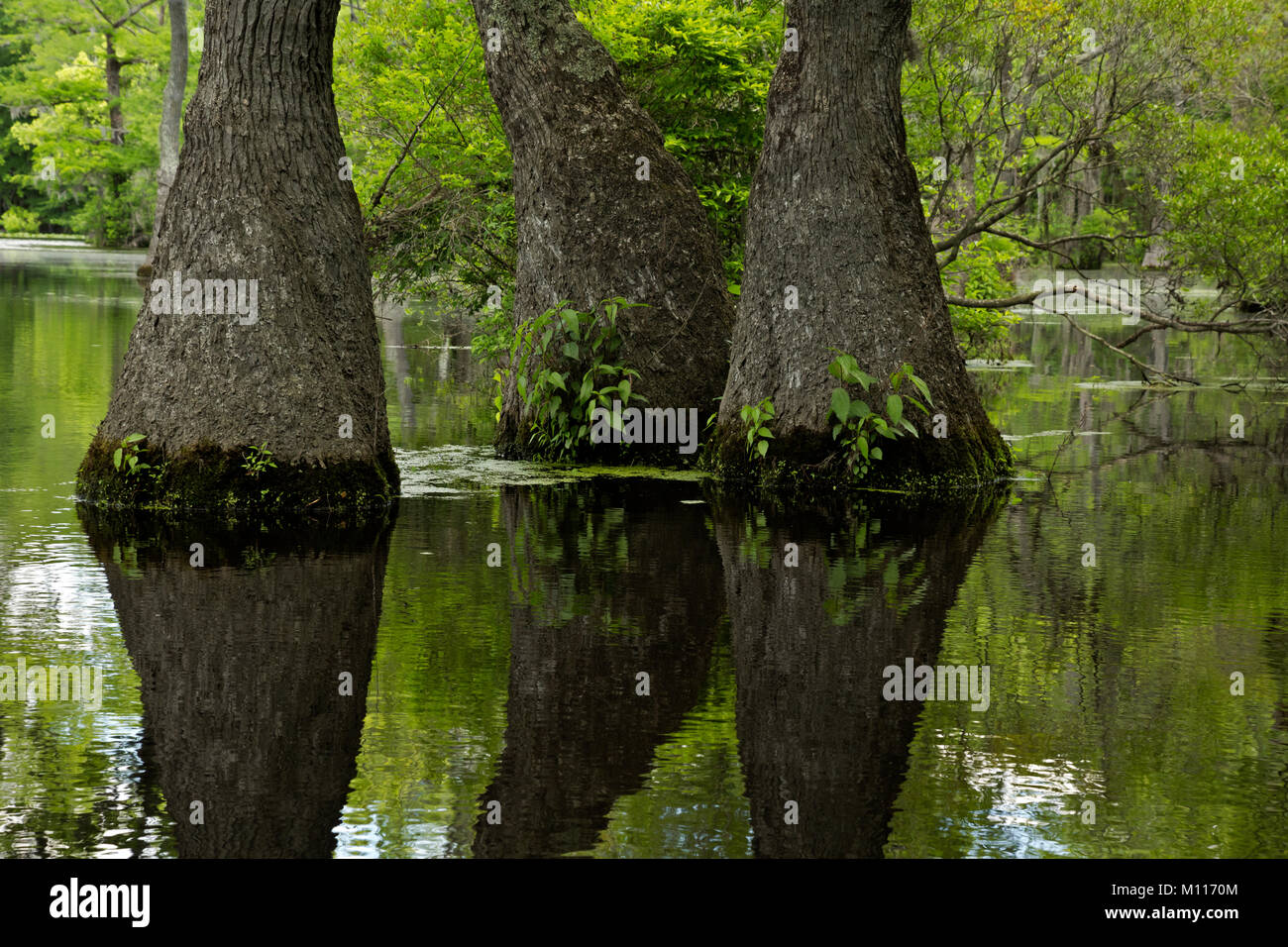 NC01452--00...NORTH CAROLINA - Graceful tupelo gum trees rising out of the cypress swamp and reflecting in the still - Stock Image