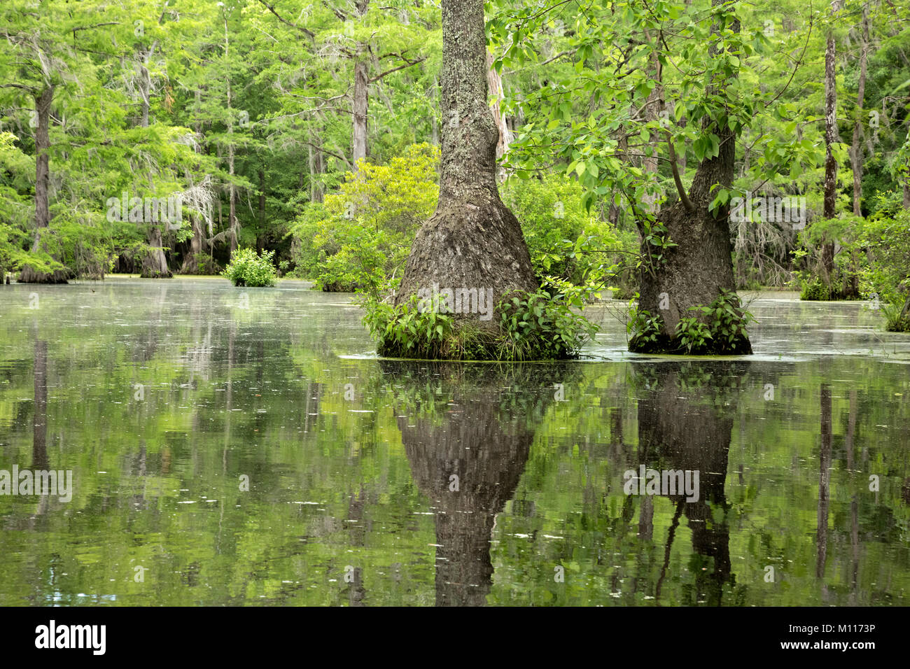 NC01453--00...NORTH CAROLINA - Graceful tupelo gum trees rising out of the cypress swamp and reflecting in the still - Stock Image