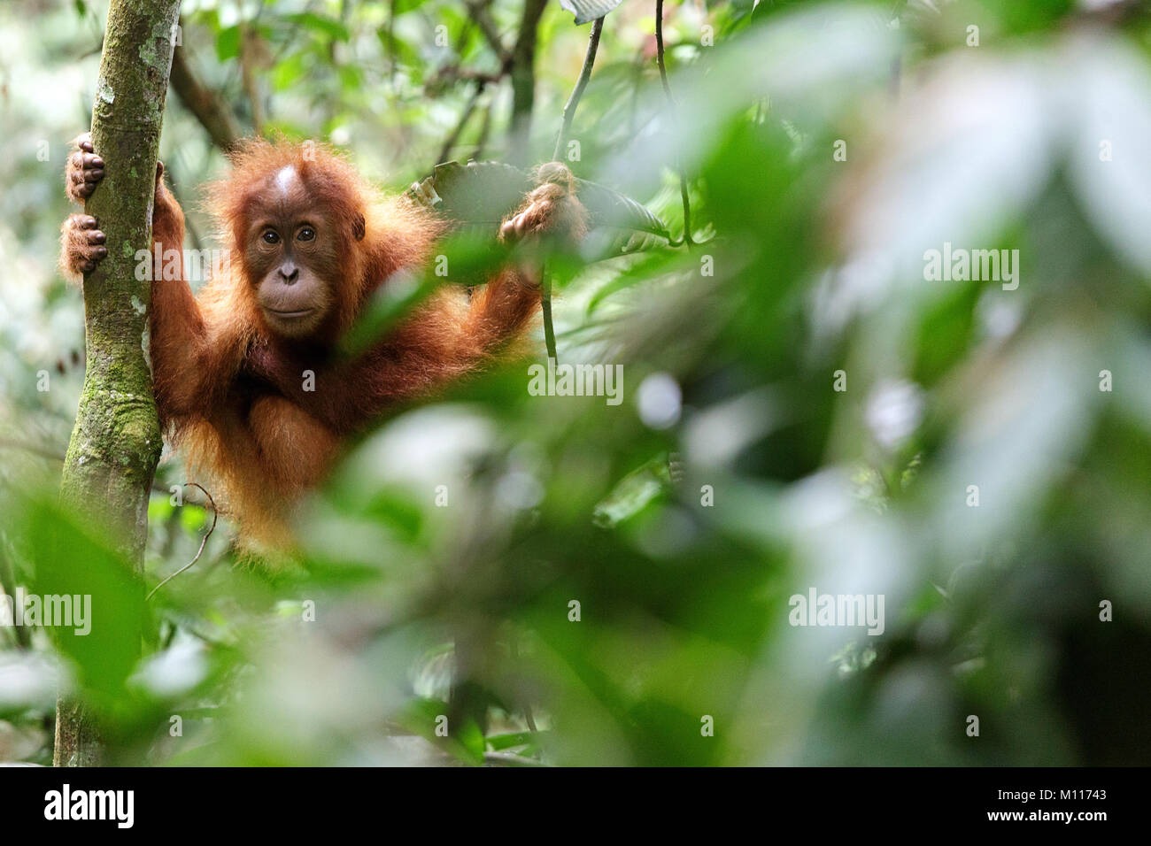Baby orangutan plays in the rainforest of Gunung Leuser National Park, Sumatra, Indinesia - Stock Image