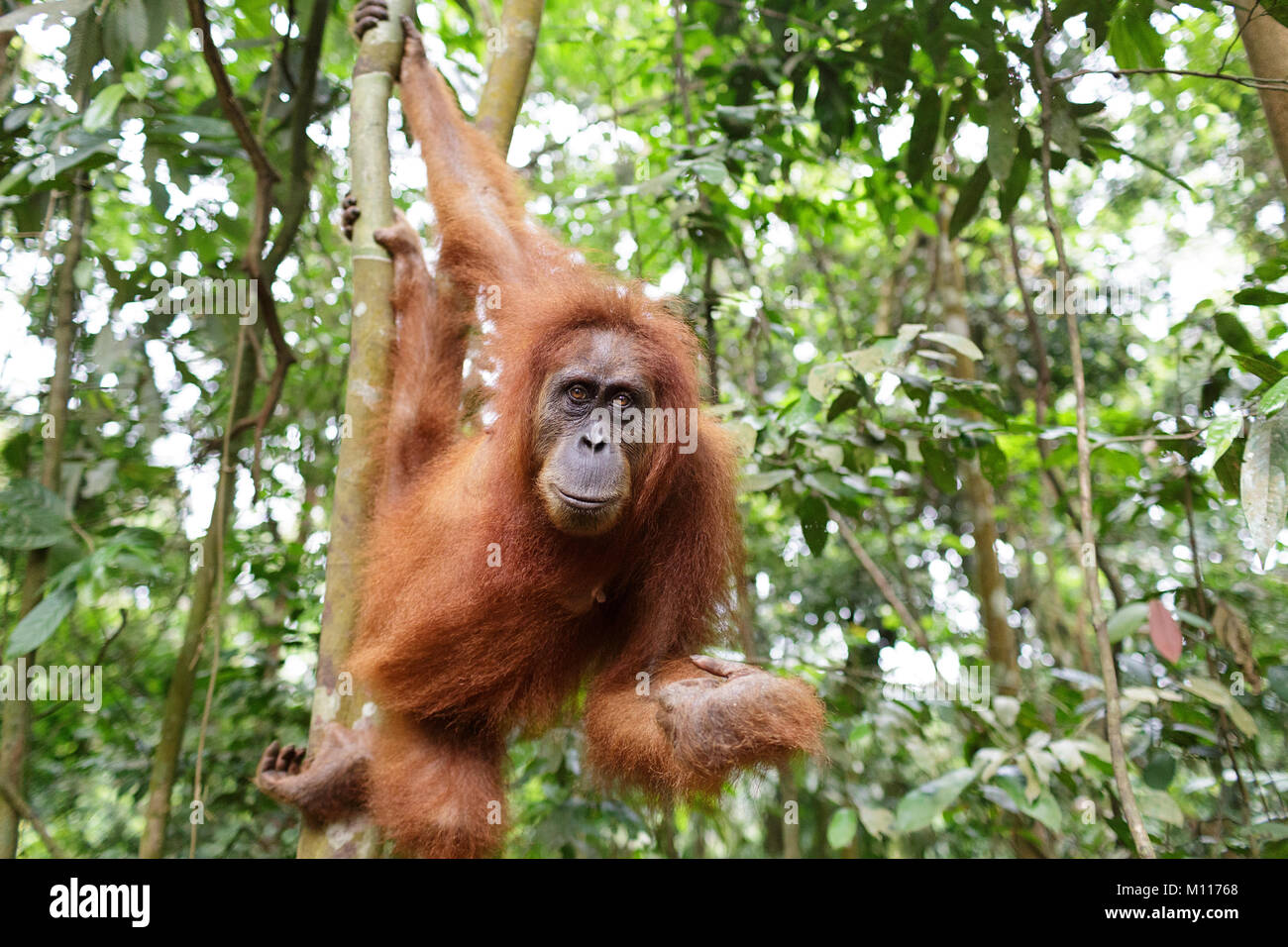 Adult female orangutan hanging from tree branches in Gunung Leuser National Park, Sumatra, Indonesia. - Stock Image